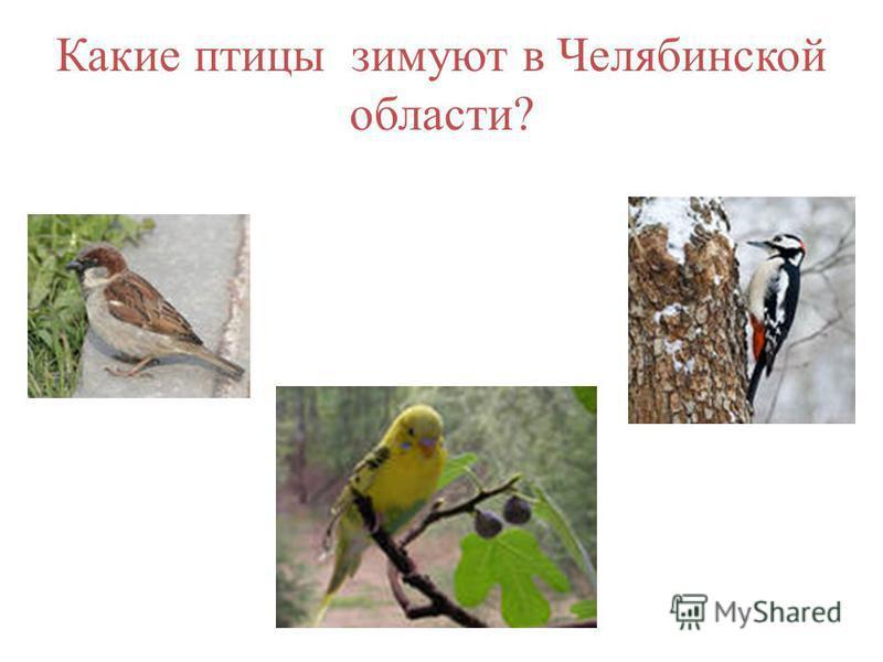 Какие птицы зимуют в Челябинской области?