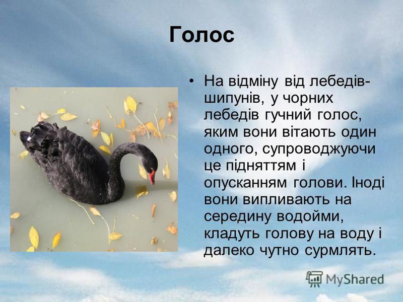 Голос На відміну від лебедів- шипунів, у чорних лебедів гучний голос, яким вони вітають один одного, супроводжуючи це підняттям і опусканням голови. Іноді вони випливають на середину водойми, кладуть голову на воду і далеко чутно сурмлять.