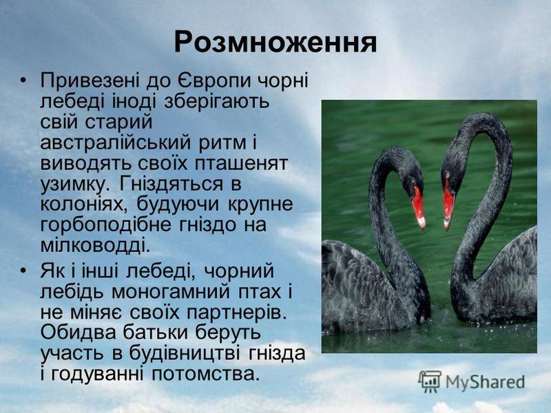 Розмноження Привезені до Європи чорні лебеді іноді зберігають свій старий австралійський ритм і виводять своїх пташенят узимку. Гніздяться в колоніях, будуючи крупне горбоподібне гніздо на мілководді. Як і інші лебеді, чорний лебідь моногамний птах і