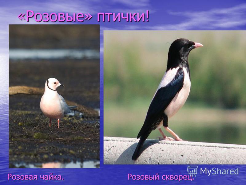 «Розовые» птички! Розовый скворец. Розовая чайка.