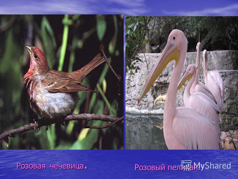 Розовая чечевица. Розовый пеликан.