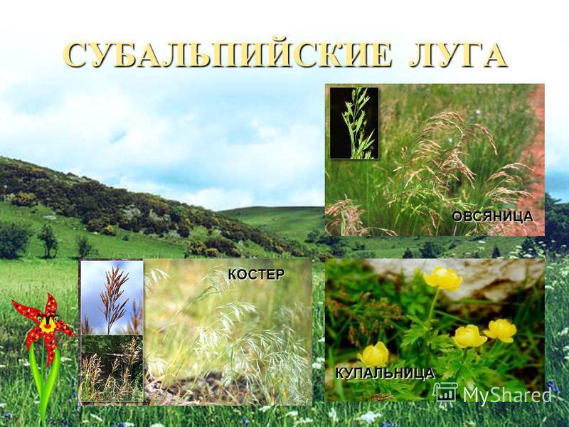 НА ГОРНЫХ ВЕРШИНАХ Во флоре Кавказа насчитывается более 6000 видов, а равнине средней полосы России – лишь около 2300, хотя эта территория значительно больше по площади, чем Кавказ.