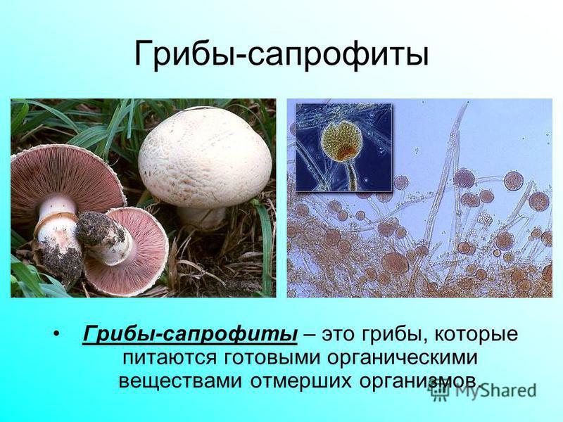 Грибы-сапрофиты Грибы-сапрофиты – это грибы, которые питаются готовыми органическими веществами отмерших организмов.