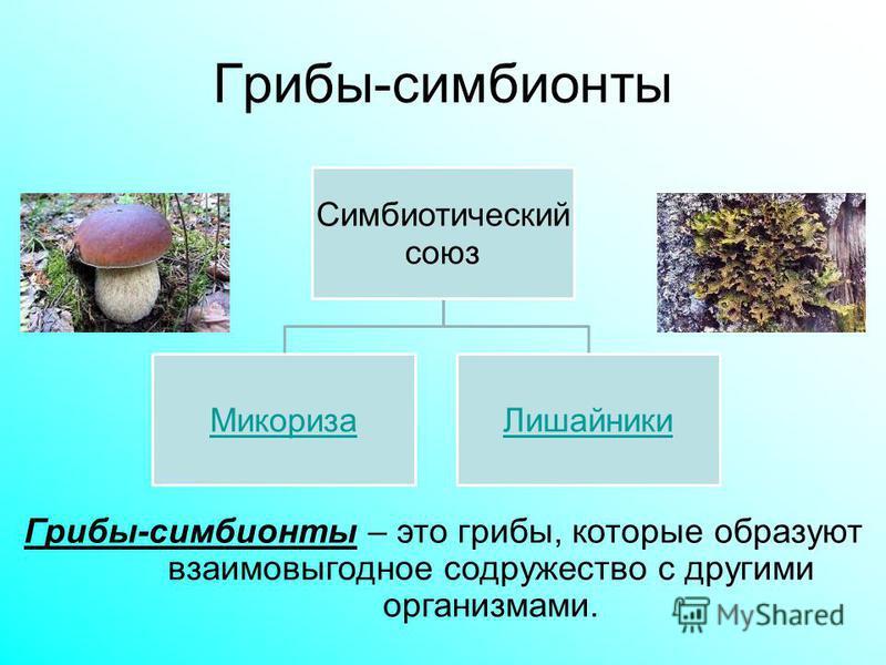 Грибы-симбионты Симбиотический союз Микориза Лишайники Грибы-симбионты – это грибы, которые образуют взаимовыгодное содружество с другими организмами.