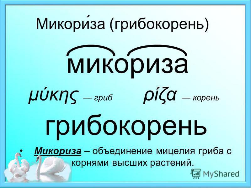 Микори́за (грибокорень) Микориза – объединение мицелия гриба с корнями высших растений. микориза μύκης гриб ρίζα корень грибокорень