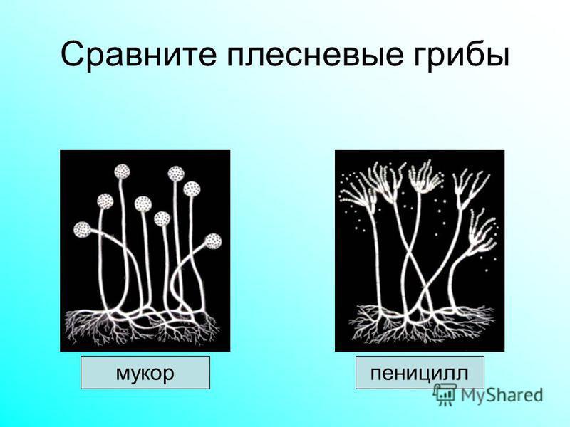 Сравните плесневые грибы мукорпеницилл