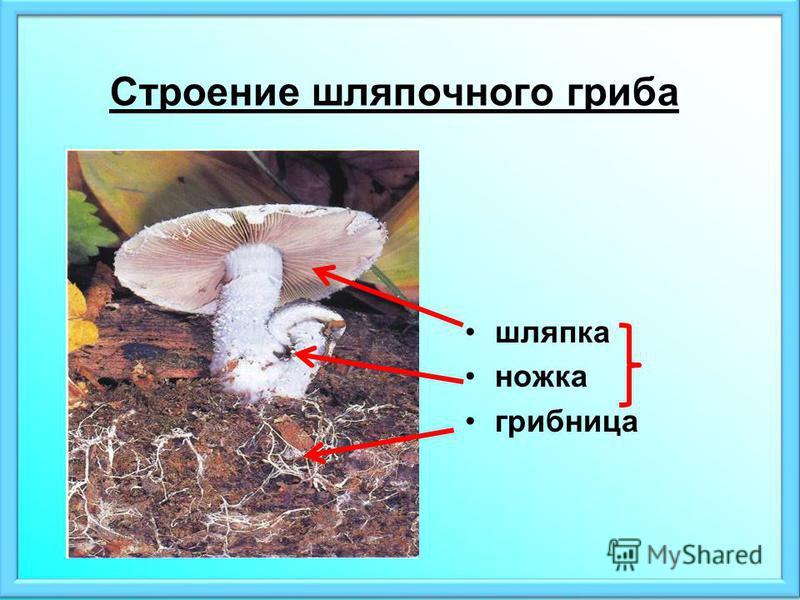 Строение шляпочного гриба шляпка ножка грибница