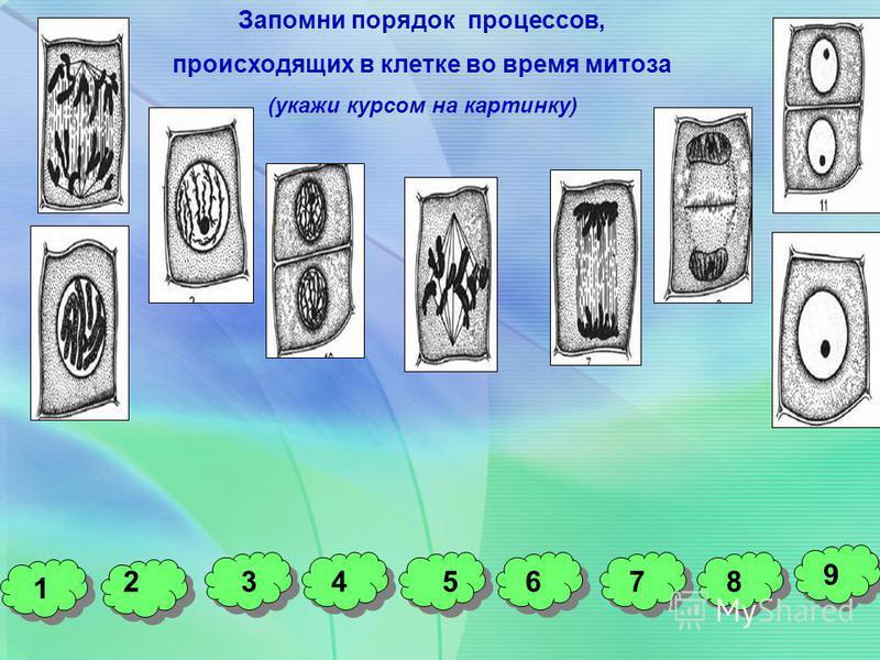 Запомни порядок процессов, происходящих в клетке во время митоза (укажи курсом на картинку) 1 32 9 76548