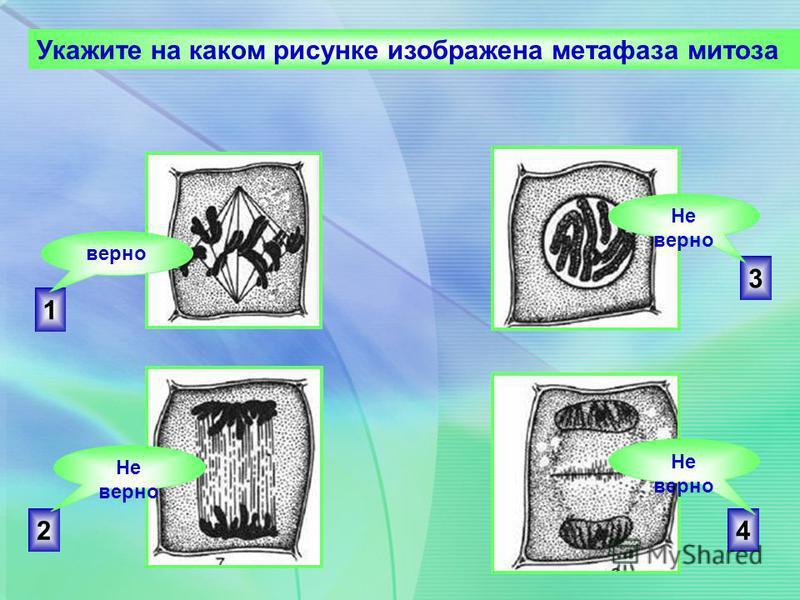 2 3 4 1 Укажите на каком рисунке изображена метафаза митоза верно Не верно