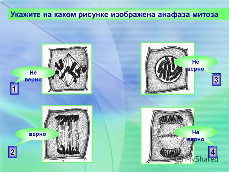 2 3 4 1 Укажите на каком рисунке изображена анафаза митоза Не верно верно Не верно