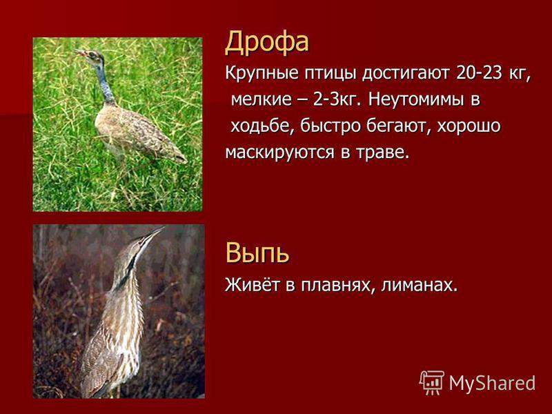 Дрофа Крупные птицы достигают 20-23 кг, мелкие – 2-3 кг. Неутомимы в мелкие – 2-3 кг. Неутомимы в ходьбе, быстро бегают, хорошо ходьбе, быстро бегают, хорошо маскируются в траве. Выпь Живёт в плавнях, лиманах.