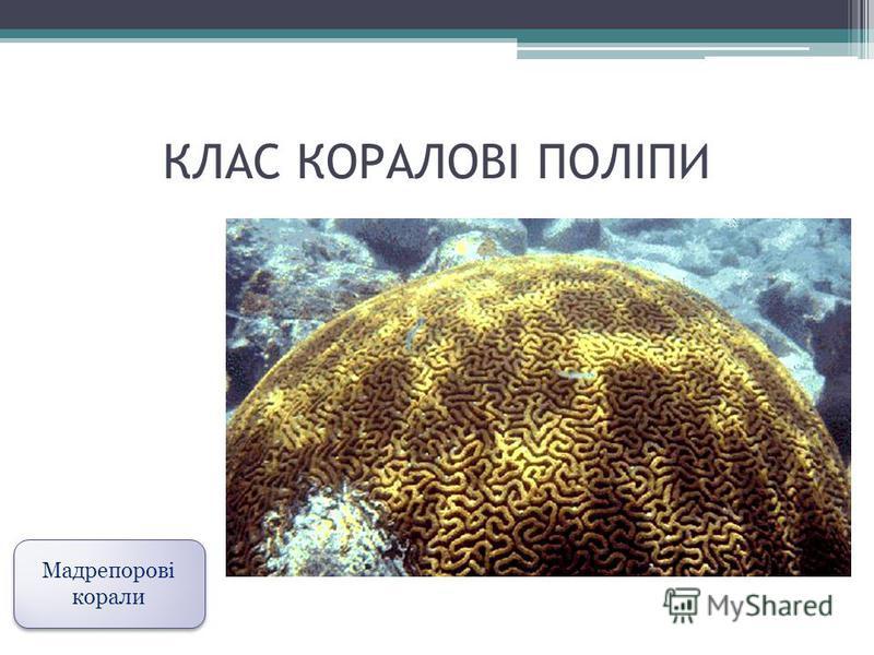 КЛАС КОРАЛОВІ ПОЛІПИ Мадрепорові корали