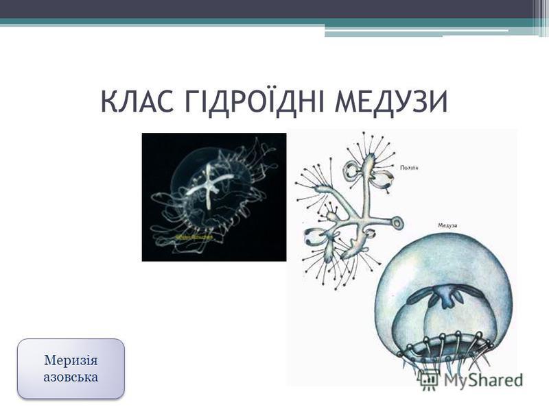 КЛАС ГІДРОЇДНІ МЕДУЗИ Меризія азовська