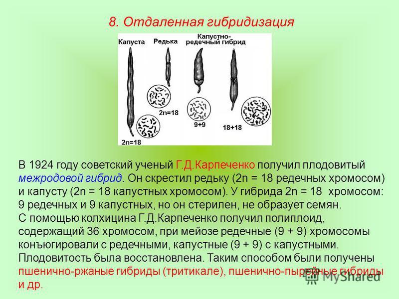 В 1924 году советский ученый Г.Д.Карпеченко получил плодовитый межродовой гибрид. Он скрестил редьку (2n = 18 редечных хромосом) и капусту (2n = 18 капустных хромосом). У гибрида 2n = 18 хромосом: 9 редечных и 9 капустных, но он стерилен, не образует