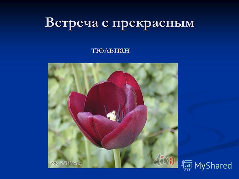 Встреча с прекрасным тюльпан тюльпан