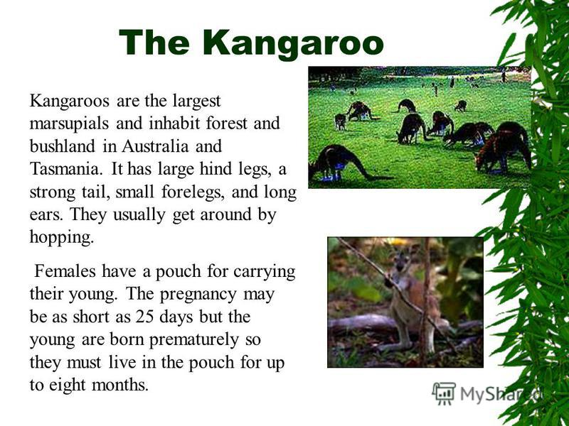 Kangaroos are the largest marsupials and inhabit forest and bushland in Australia and Tasmania. It has large hind legs, a strong tail, small forelegs, and long ears. They usually get around by hopping. Females have a pouch for carrying their young. T