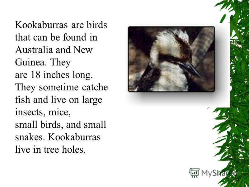 Kookaburras are birds that can be found in Australia and New Guinea. They are 18 inches long. They sometime catche fish and live on large insects, mice, small birds, and small snakes. Kookaburras live in tree holes.