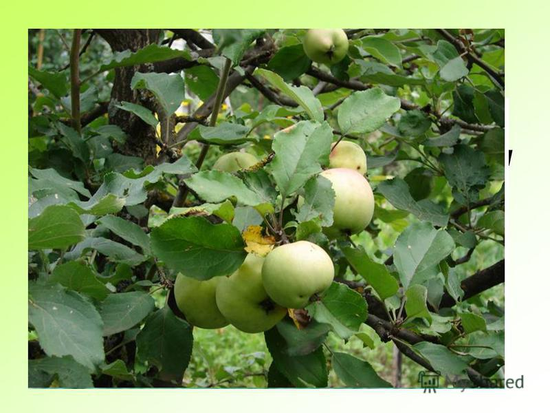 Экологическая викторина Построить экологическую цепочку «коршун - яблоко» 5 баллов Коршун - мелкие птицы - личинки вредителей – яблоки 5 баллов