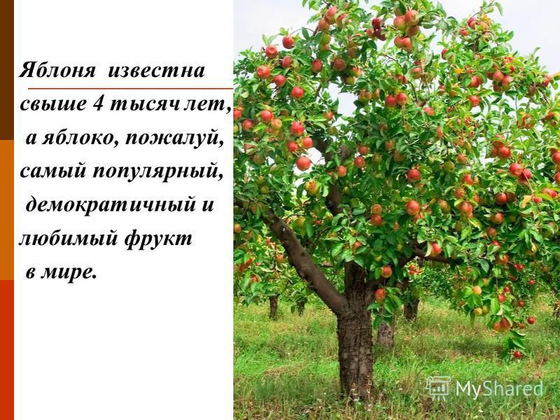 Яблоня известна свыше 4 тысяч лет, а яблоко, пожалуй, самый популярный, демократичный и любимый фрукт в мире.