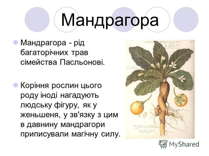 Мандрагора Мандрагора - рід багаторічних трав сімейства Пасльонові. Коріння рослин цього роду іноді нагадують людську фігуру, як у женьшеня, у зв'язку з цим в давнину мандрагори приписували магічну силу.