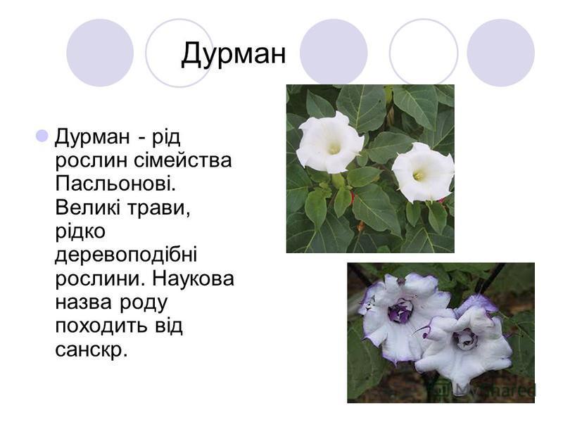 Дурман Дурман - рід рослин сімейства Пасльонові. Великі трави, рідко деревоподібні рослини. Наукова назва роду походить від санскр.