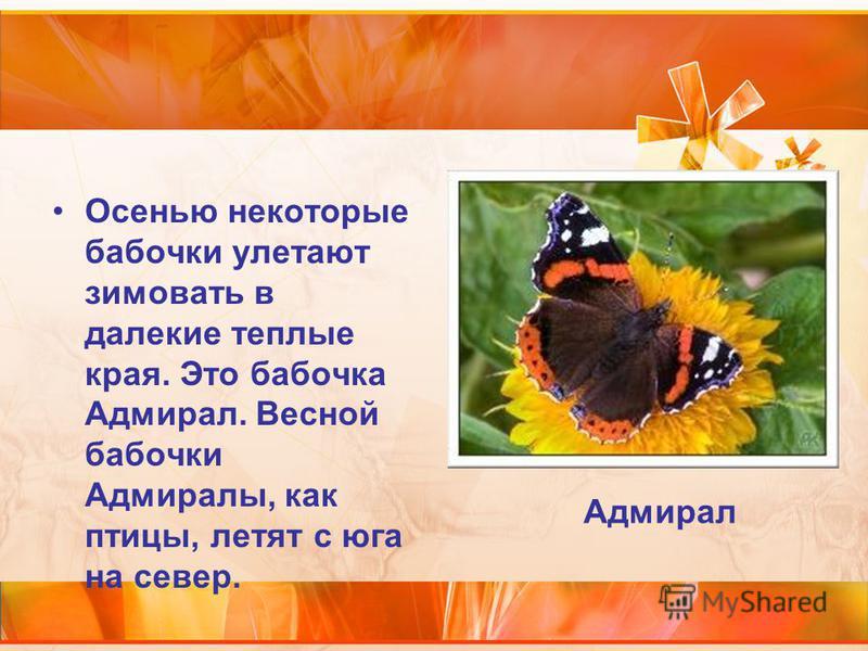 Осенью некоторые бабочки улетают зимовать в далекие теплые края. Это бабочка Адмирал. Весной бабочки Адмиралы, как птицы, летят с юга на север. Адмирал