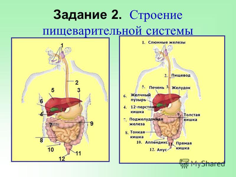 Система органов пищеварения = Пищеварительный канал + Пищеварительные железы