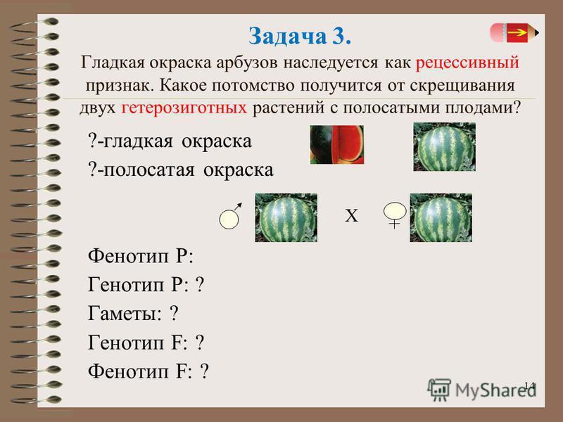 14 Задача 3. Гладкая окраска арбузов наследуется как рецессивный признак. Какое потомство получится от скрещивания двух гетерозиготныйх растений с полосатыми плодами? ?-гладкая окраска ?-полосатая окраска Фенотип Р: Генотип Р: ? Гаметы: ? Генотип F: