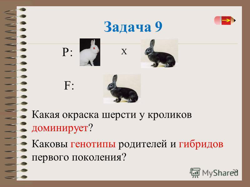 20 Задача 9 Какая окраска шерсти у кроликов доминирует? Каковы генотипы родителей и гибридов первого поколения? Х F:F: Р: