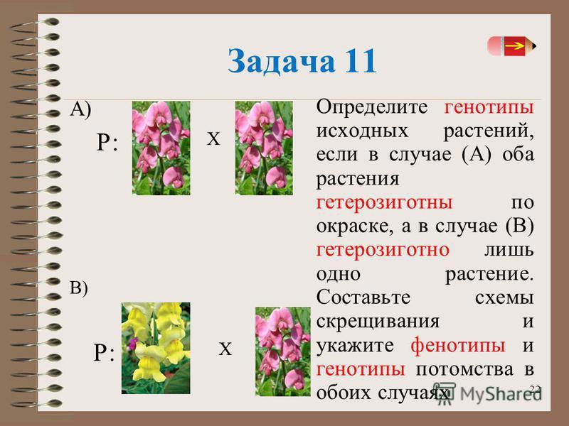 22 Задача 11 Определите генотипы исходных растений, если в случае (А) оба растения гетерозиготный по окраске, а в случае (В) гетерозиготной лишь одно растение. Составьте схемы скрещивания и укажите фенотипы и генотипы потомства в обоих случаях А) Х В