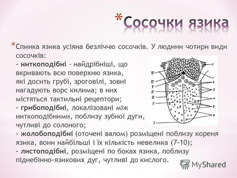 * Спинка язика усіяна безліччю сосочків. У людини чотири види сосочків: - ниткоподібні – найдрібніші, що вкривають всю поверхню язика, які досить грубі, зроговілі, зовні нагадують ворс килима; в них містяться тактильні рецептори; - грибоподібні, лока