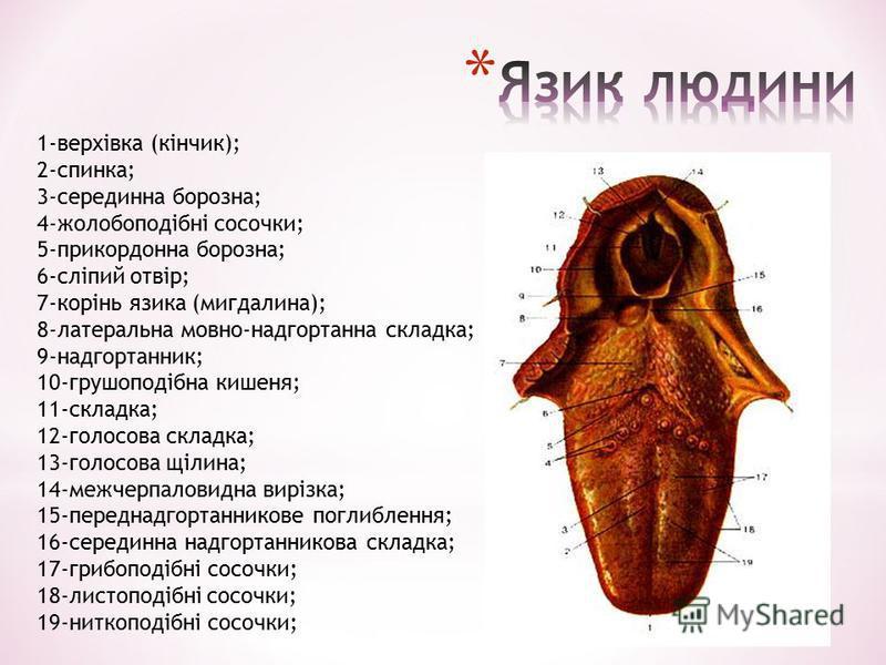 1-верхівка (кінчик); 2-спинка; 3-серединна борозна; 4-жолобоподібні сосочки; 5-прикордонна борозна; 6-сліпий отвір; 7-корінь язика (мигдалина); 8-латеральна мовно-надгортанна складка; 9-надгортанник; 10-грушоподібна кишеня; 11-складка; 12-голосова ск