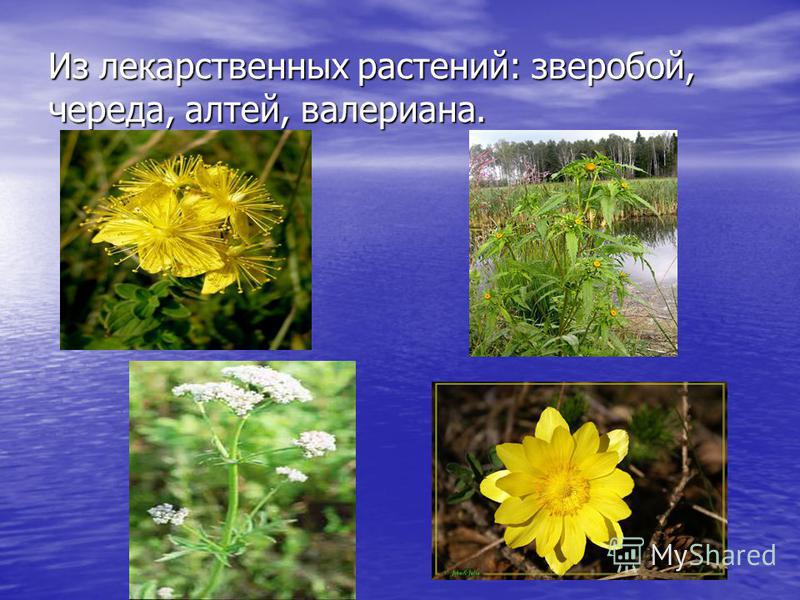 Из лекарственных растений: зверобой, череда, алтей, валериана.