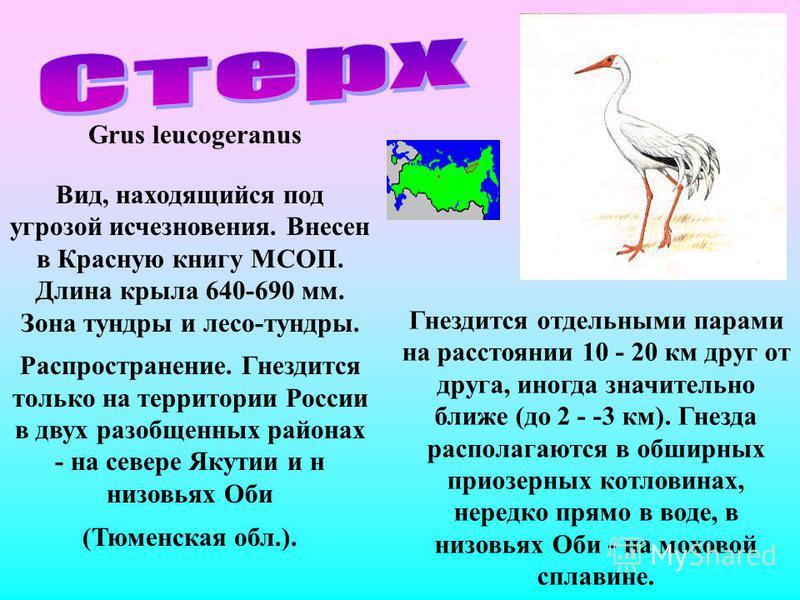 Grus leucogeranus Вид, находящийся под угрозой исчезновения. Внесен в Красную книгу МСОП. Длина крыла 640-690 мм. Зона тундры и лесо-тундры. Распространение. Гнездится только на территории России в двух разобщенных районах - на севере Якутии и н низо
