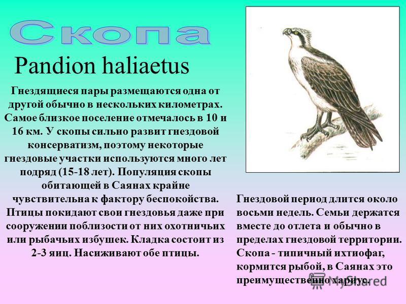 Pandion haliaetus Гнездящиеся пары размещаются одна от другой обычно в нескольких километрах. Самое близкое поселение отмечалось в 10 и 16 км. У скопы сильно развит гнездовой консерватизм, поэтому некоторые гнездовые участки используются много лет по