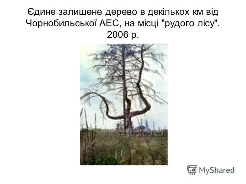 Єдине залишене дерево в декількох км від Чорнобильської АЕС, на місці рудого лісу. 2006 р.