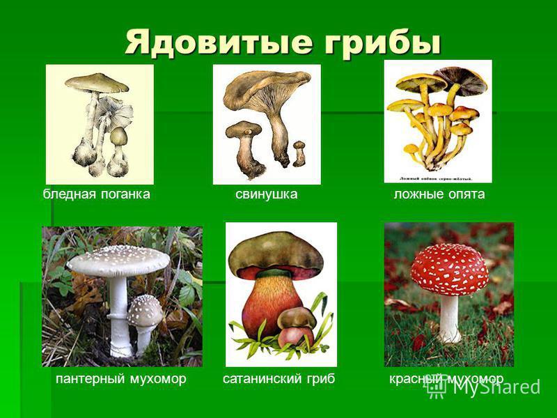 Ядовитые грибы бледная поганка свинушка ложные опята пантерный мухомор сатанинский гриб красный мухомор