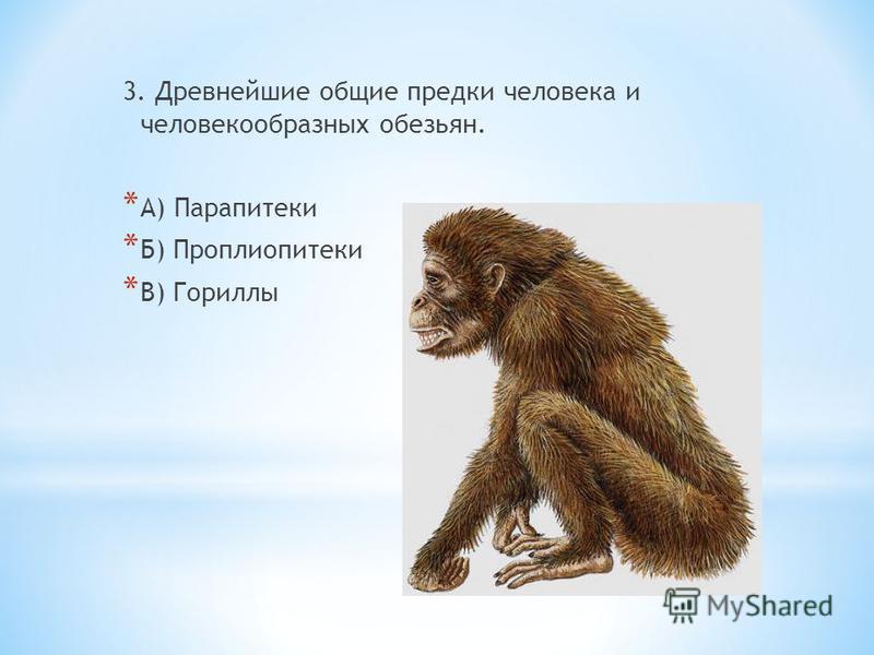 3. Древнейшие общие предки человека и человекообразных обезьян. * А) Парапитеки * Б) Проплиопитеки * В) Гориллы