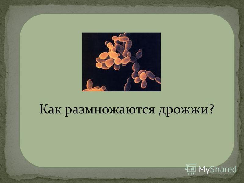 почкованием Как размножаются дрожжи?