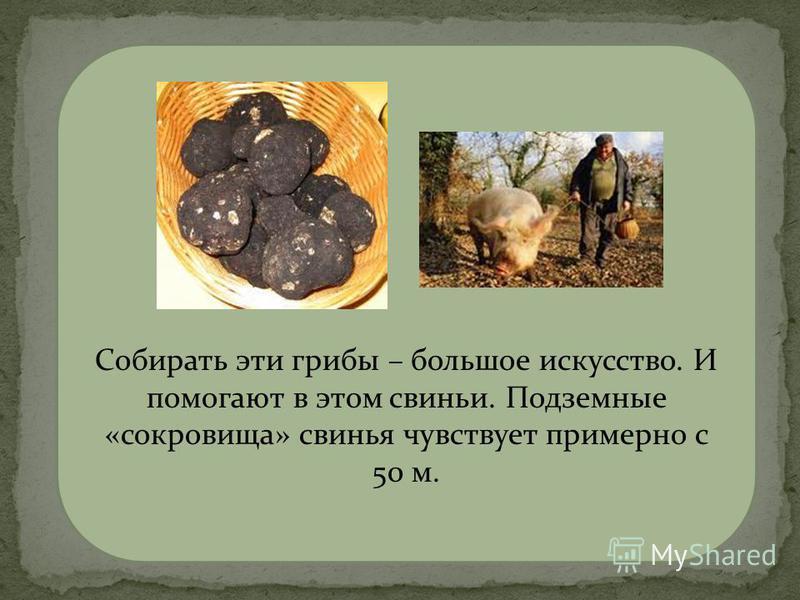 трюфели Собирать эти грибы – большое искусство. И помогают в этом свиньи. Подземные «сокровища» свинья чувствует примерно с 50 м.