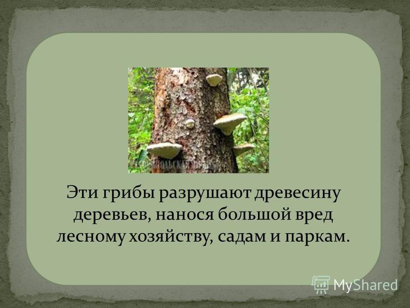 трутовики Эти грибы разрушают древесину деревьев, нанося большой вред лесному хозяйству, садам и паркам.