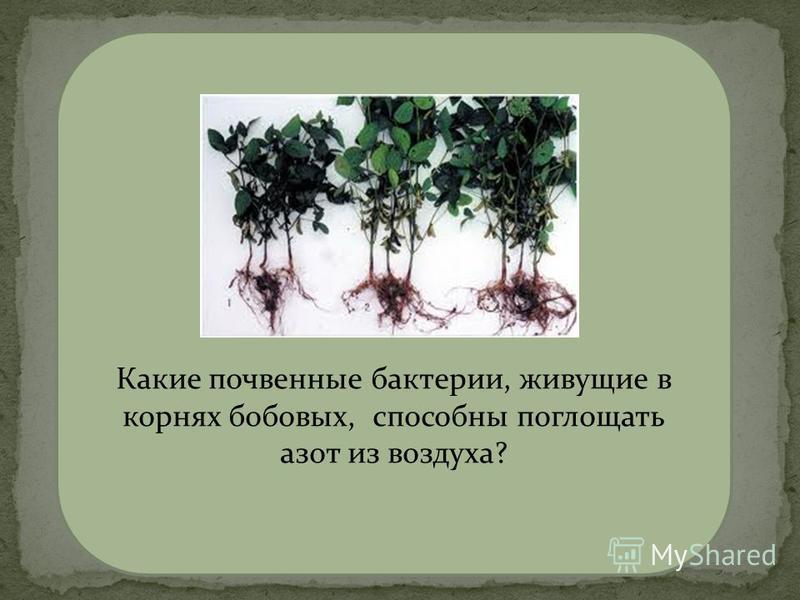 Клубеньковые азотфиксирующие бактерии Какие почвенные бактерии, живущие в корнях бобовых, способны поглощать азот из воздуха?