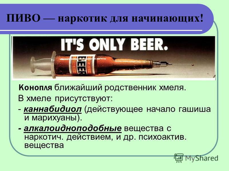 Конопля ближайший родственник хмеля. В хмеле присутствуют: - каннабидиол (действующее начало гашиша и марихуаны). - алкалоидноподобные вещества с наркотич. действием, и др. психоактив. вещества ПИВО наркотик для начинающих!
