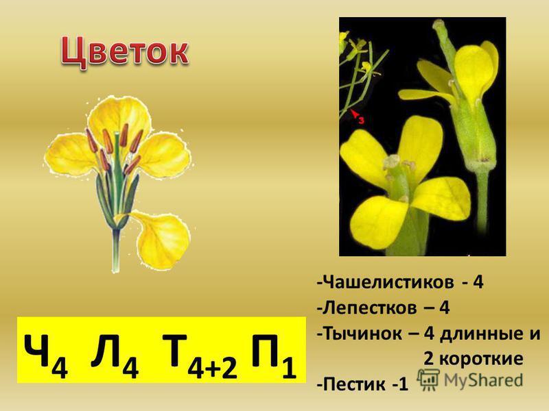 Ч 4 Л 4 Т 4+2 П 1 -Чашелистиков - 4 -Лепестков – 4 -Тычинок – 4 длинные и 2 короткие -Пестик -1