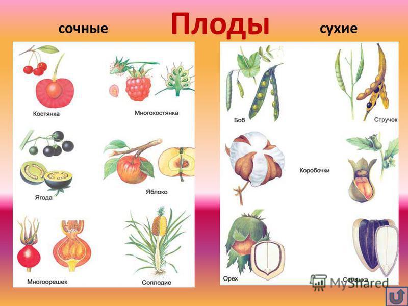 Плоды сочные сухие
