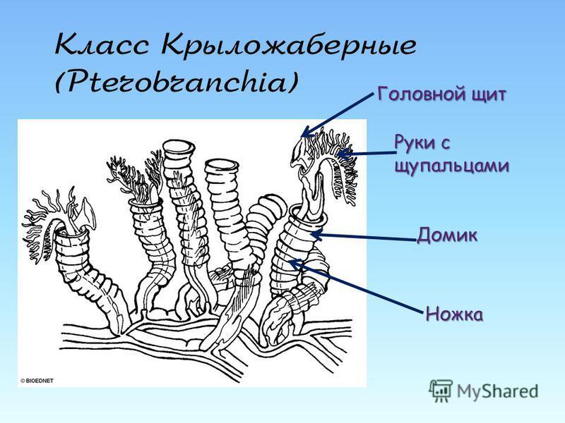 Класс Крыложаберные (Pterobranchia) Головной щит Руки с щупальцами Ножка Домик