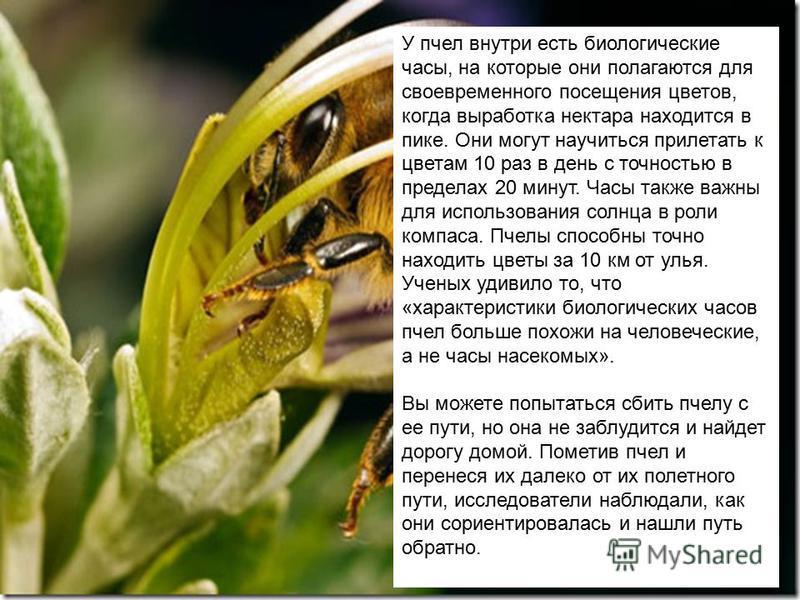 У пчел внутри есть биологические часы, на которые они полагаются для своевременного посещения цветов, когда выработка нектара находится в пике. Они могут научиться прилетать к цветам 10 раз в день с точностью в пределах 20 минут. Часы также важны для