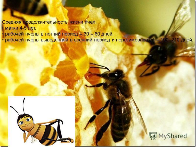 Средняя продолжительность жизни пчел: матки 4-5 лет, рабочей пчелы в летний период – 30 – 60 дней, рабочей пчелы выведенной в осенний период и перезимовавшей – 190- 210 дней.