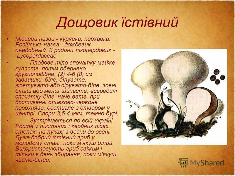 Дощовик їстівний Місцева назва - курявка, порхавка. Російська назва - дождевик съедобный. З родини лікопердових - Lycoperdaceae. Плодове тіло спочатку майже кулясте, потім обернено- гругпоподібне, (2) 4-6 (8) см заввишки, біле, білувате, жовтувато-аб