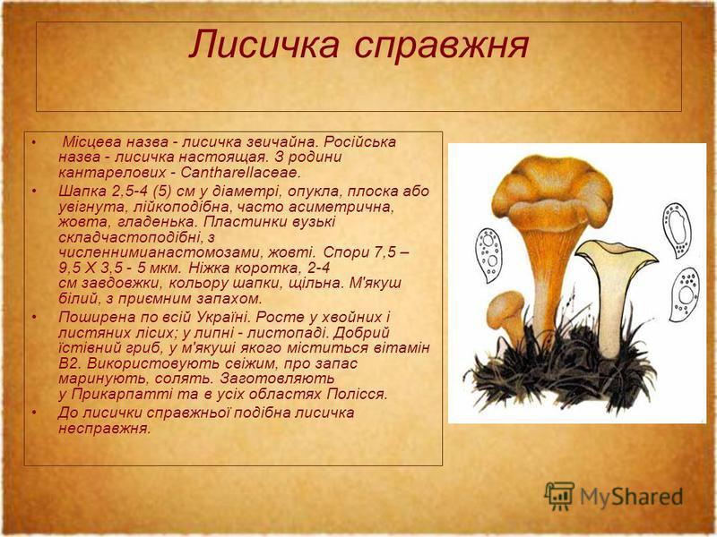 Лисичка справжня Місцева назва - лисичка звичайна. Російська назва - лисичка настоящая. З родини кантарелових - Cantharellaceae. Шапка 2,5-4 (5) см у діаметрі, опукла, плоска або увігнута, лійкоподібна, часто асиметрична, жовта, гладенька. Пластинки
